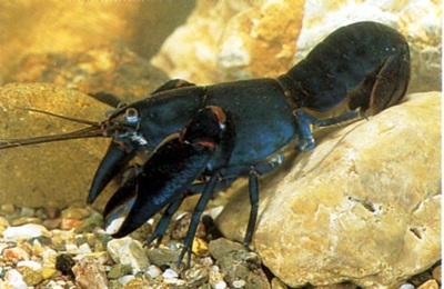 Inland Yabby, Cherax destructor