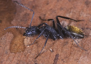 Golden-tailed Sugar Ant