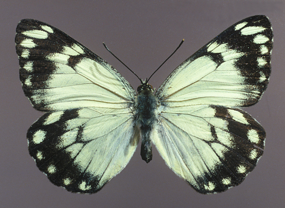 Caper White, Belenois java