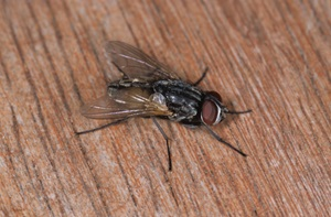 Housefly (Musca domestica)