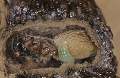 A spider wasp larva feeds on a spider with a cell constructed with mud. This species of spider wasps amputates the legs of the spider before inserting it into the cell.