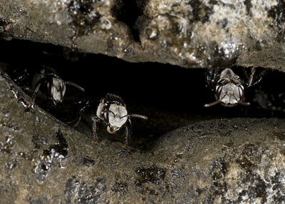 Workers of the native stingless bee Trigona carbonaria guard the entrance to their hive.