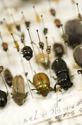 Various pinned beetles on a polystyrene board drying.