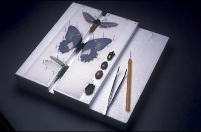 Example of various groups of insects pinned and set on a setting board.