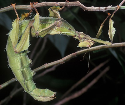 Spiny Leaf insect or Macleay's spectre,  Extatosoma tiaratum