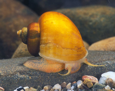 Spike-top Apple Snail (Pomacea bridgesii)