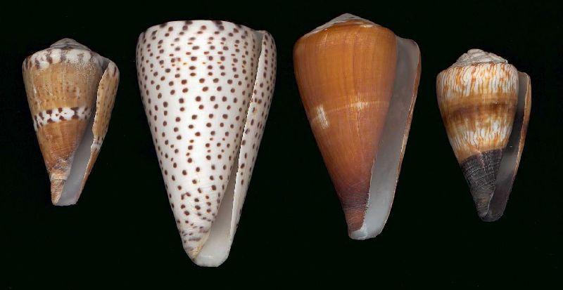 Worm-eating cone species: [left to right] Conus capitaneus, Conus leopardus, Conus vexillum, Conus miles. (Longest shell shown 100mm)