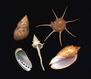 Marine snails come in many shapes and colours. All of these species have been found in Australian waters and three of them are only known from here.
