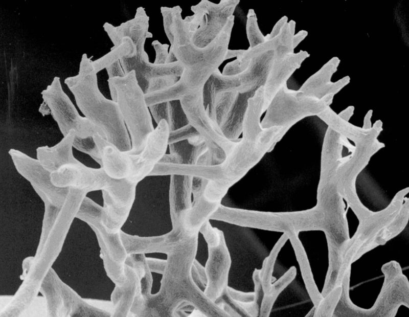 Sponge skeleton from scanning electron microscopy of Spongia sp.