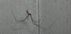 Pholcus phalangioides, family Pholcidae