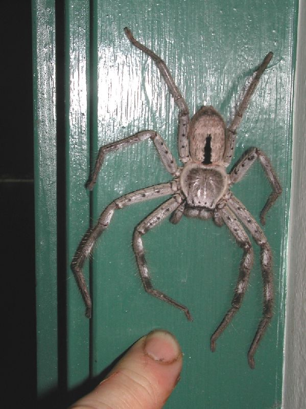 Huntsman spider, Sparassidae, Holconia immanis, female