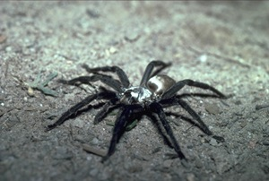 Silverback, Brushfooted trapdoor spider, Idiommata, male