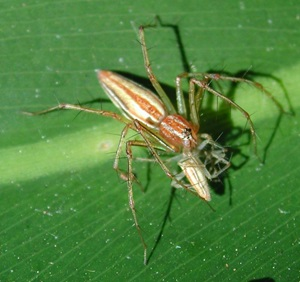 Lynx spider feeding, Oxyopidae, Oxyopes, female