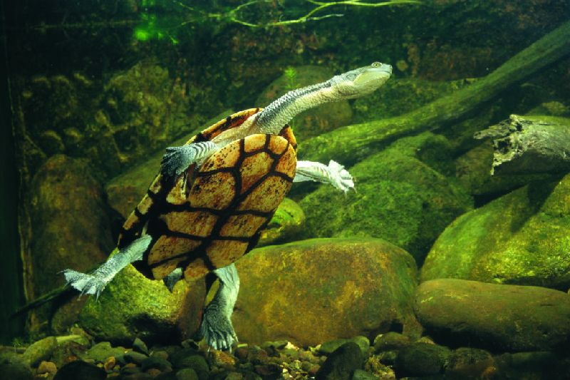 The Eastern Snake-necked Turtle, Chelodina longicollis - photograph by John Cann.
