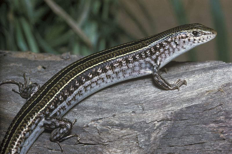 The Robust Ctenotus (Ctenotus robustus)