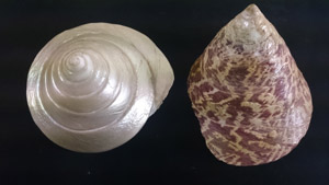 Trochus shells from the Queensland Museum collection