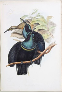 "Hand-coloured lithograph of Magnificent Riflebird from Gould's ""Birds of Australia"" 1840-1848, QM library."