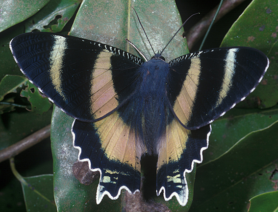 North Queensland Day Moth, Alcides metaurus.