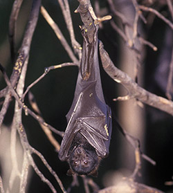 'Pteropus alecto' also known as the black flying fox